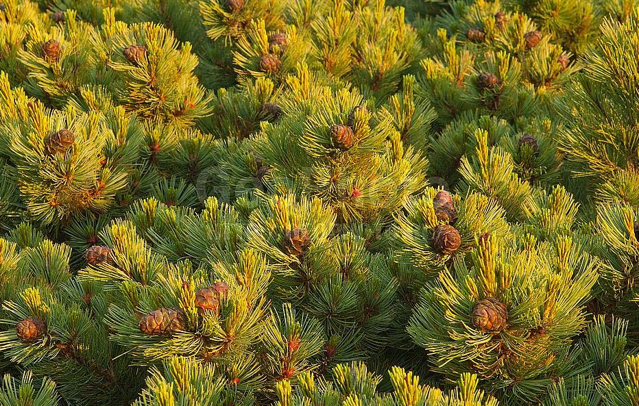 Экологи встали назащиту кедровых лесов